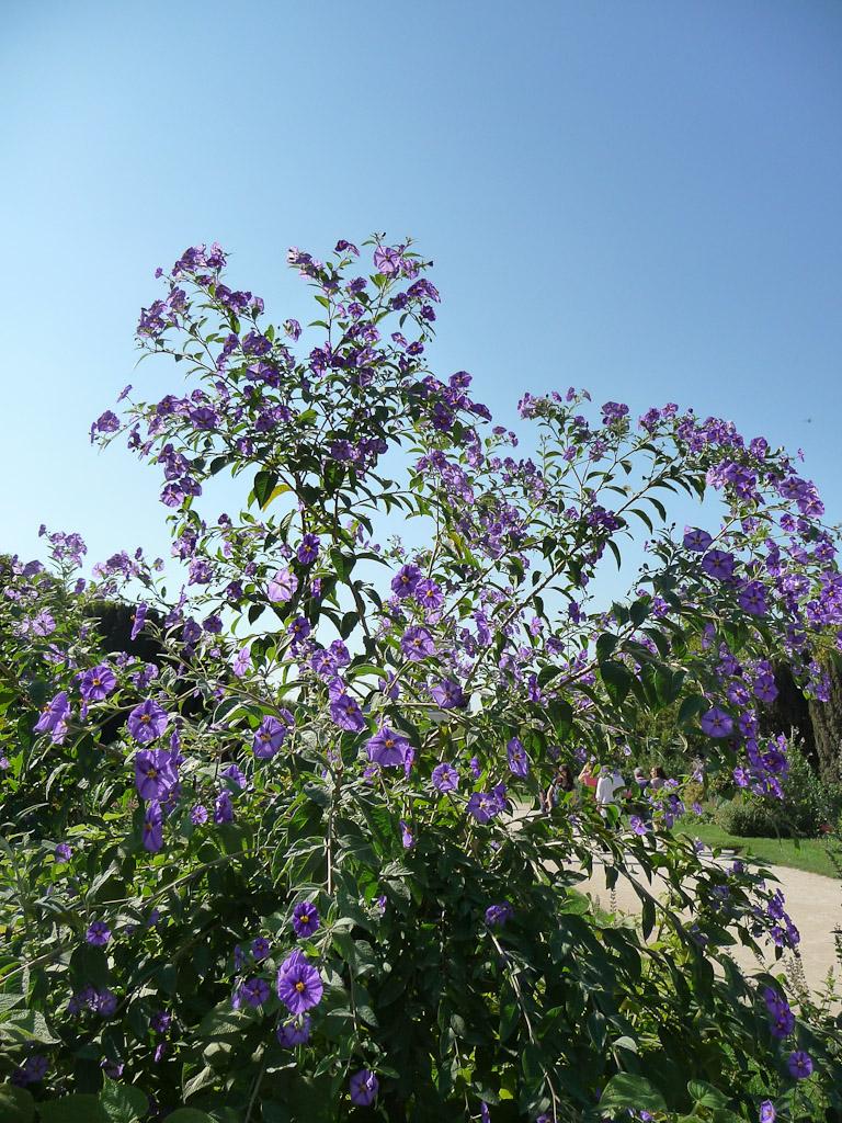 Solanum rantonnetii sous le soleil et le ciel bleu dans le Jardin des Plantes de Paris, Paris 5e (75)