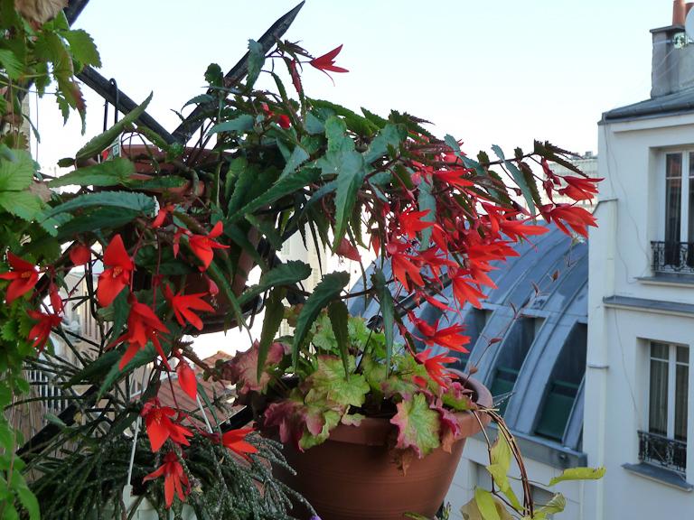Suspension de bégonia Summerwings 'Orange' sur mon balcon en été