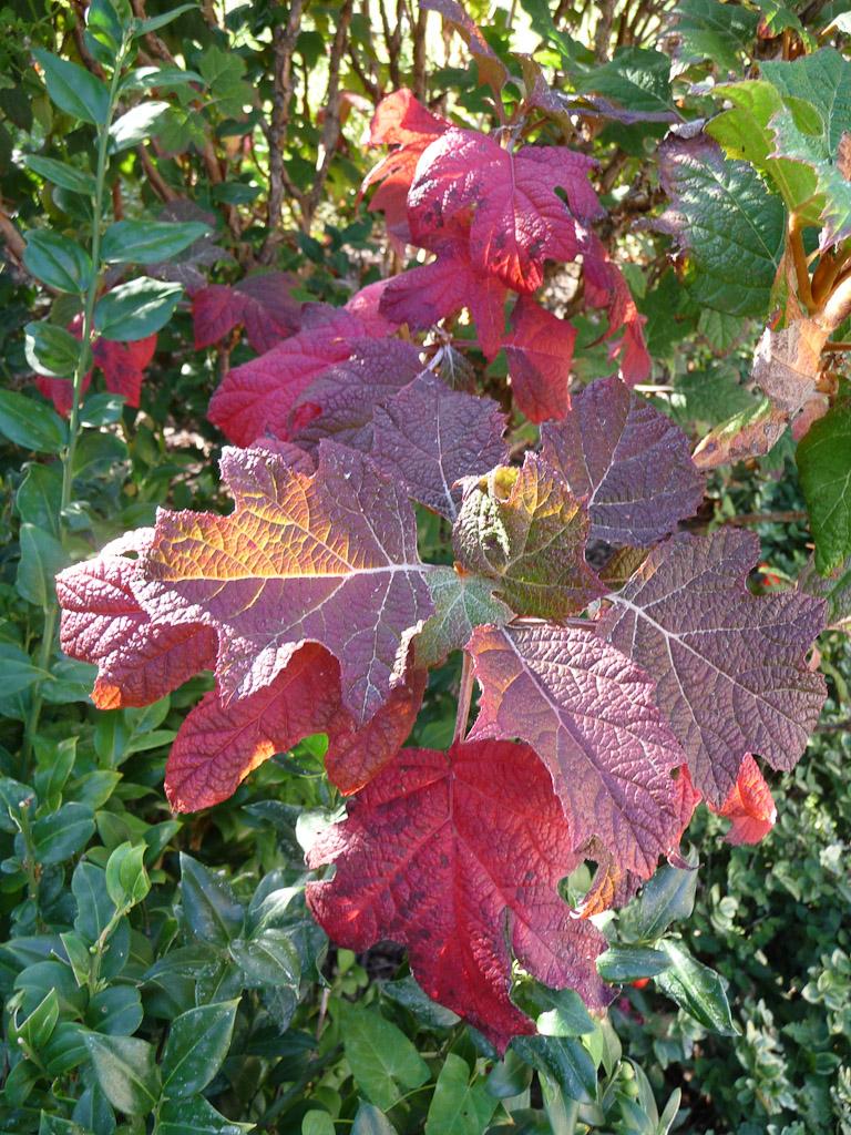 Hydrangea quercifolia avec des couleurs d'automne flamboyantes, square Galliera, Paris 16e (75)