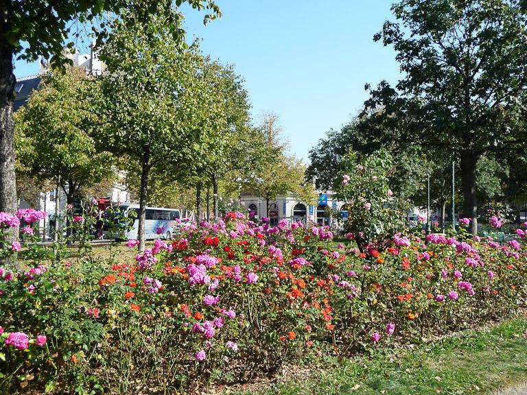 Rosiers remontants dans le square Albert Besnard, Paris 17e (75)