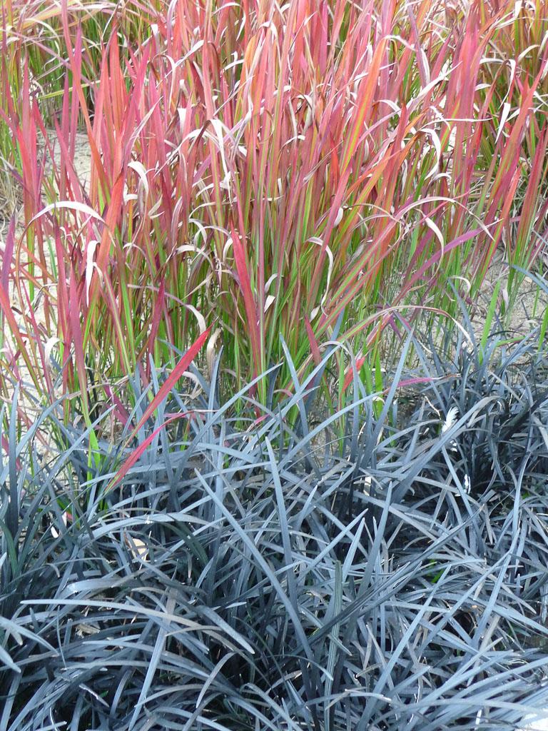 Ophiopogon planiscapus 'Nigrescens' et Imperata cylindrica 'Red Baron', Promenade Pereire en début d'automne, Paris 17e (75)