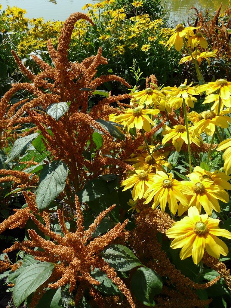 Amarante-grain géante (Amaranthus hypochondriacus), Parc floral de Paris en été, Paris 12e (75)
