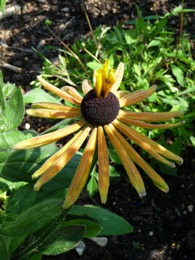 Fleur de rudbeckia annuel, Parc floral de Paris (75)