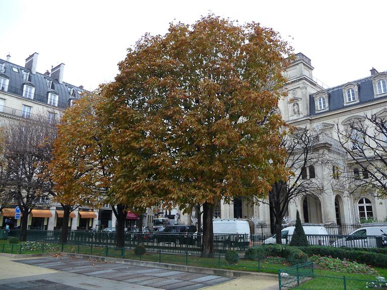 Marronniers en fin d'automne devant la mairie, place du Louvre, Paris 1er (75)