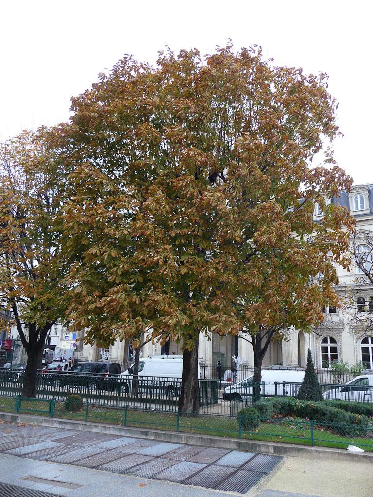 Marronniers en fin d'automne, place du Louvre, Paris 1er (75), 3 décembre 2011, photo Alain Delavie