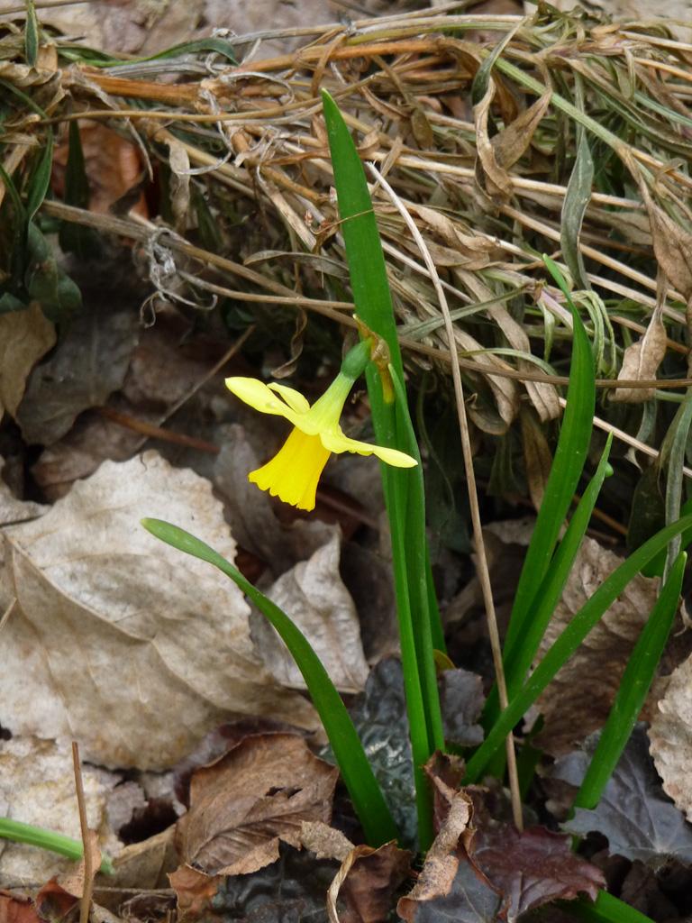 Narcisse fleuri en fin d'hiver dans le parc de Passy, Paris 16e (75)