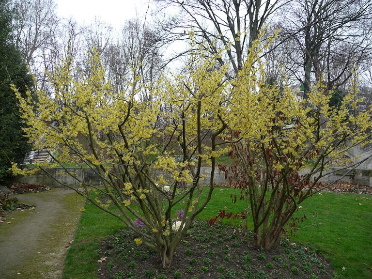 Hamamelis fleuris dans le parc de Bercy en fin d'hiver, Paris 12e (75)