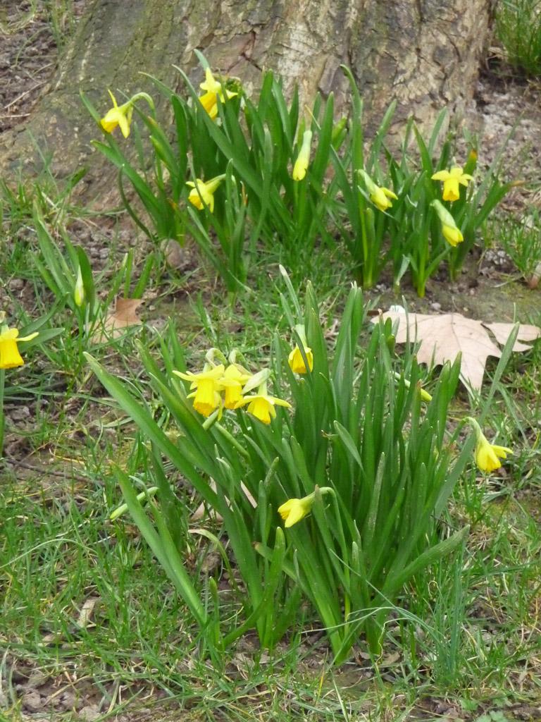 Narcisses fleuris dans le parc de Bercy en fin d'hiver, Paris 12e (75)