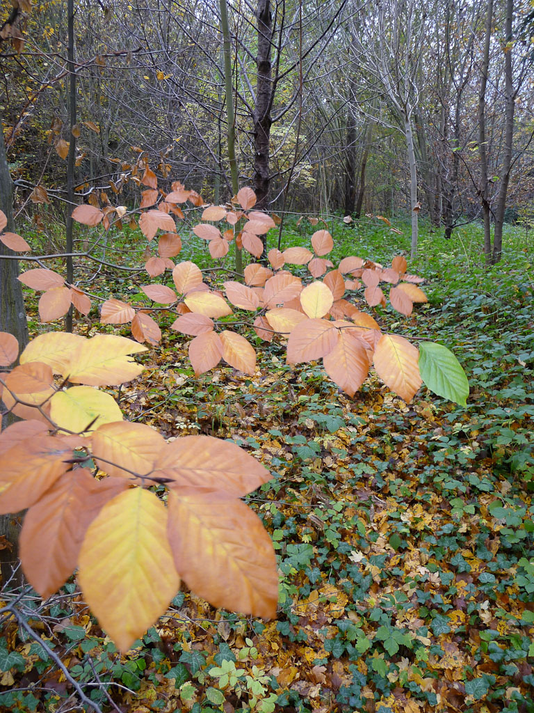 Feuillage d'automne d'un charme (Carpinus betulus) dans un des bosquets des jardins du Domaine de Versailles (Yvelines) en automne