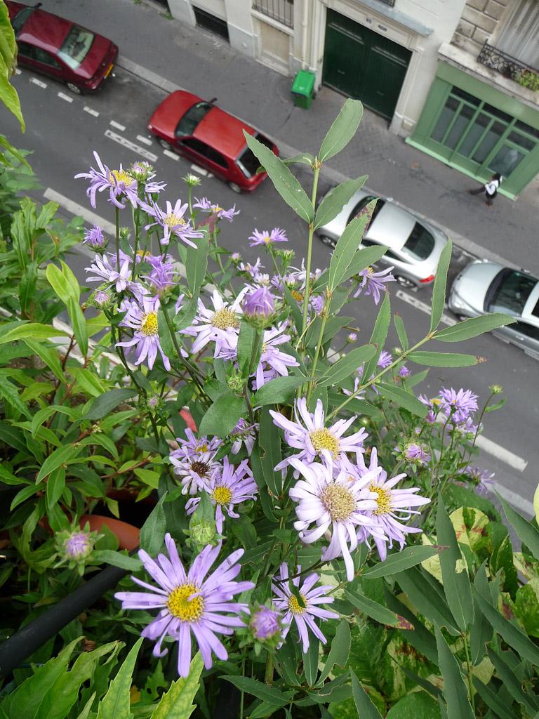 Asters d'été à fleurs bleues sur mon balcon, Astéracées