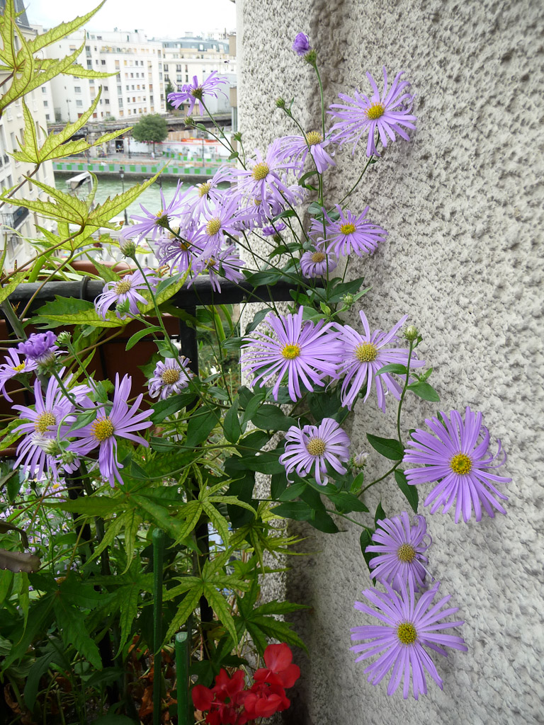 Aster x frikartii 'Wunder von Stäfa' en été sur mon balcon, Astéracées