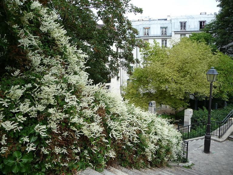 Renouée du Turkestan (Fallopia baldschuanica) sur un escalier dans Montmartre, Paris 18e (75)