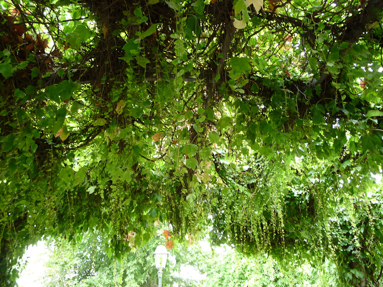 Draperies de vigne-vierge dans le parc Marcel Bleustein-Blanchet, parc de la Turlure, à Montmartre, Paris 18e (75)
