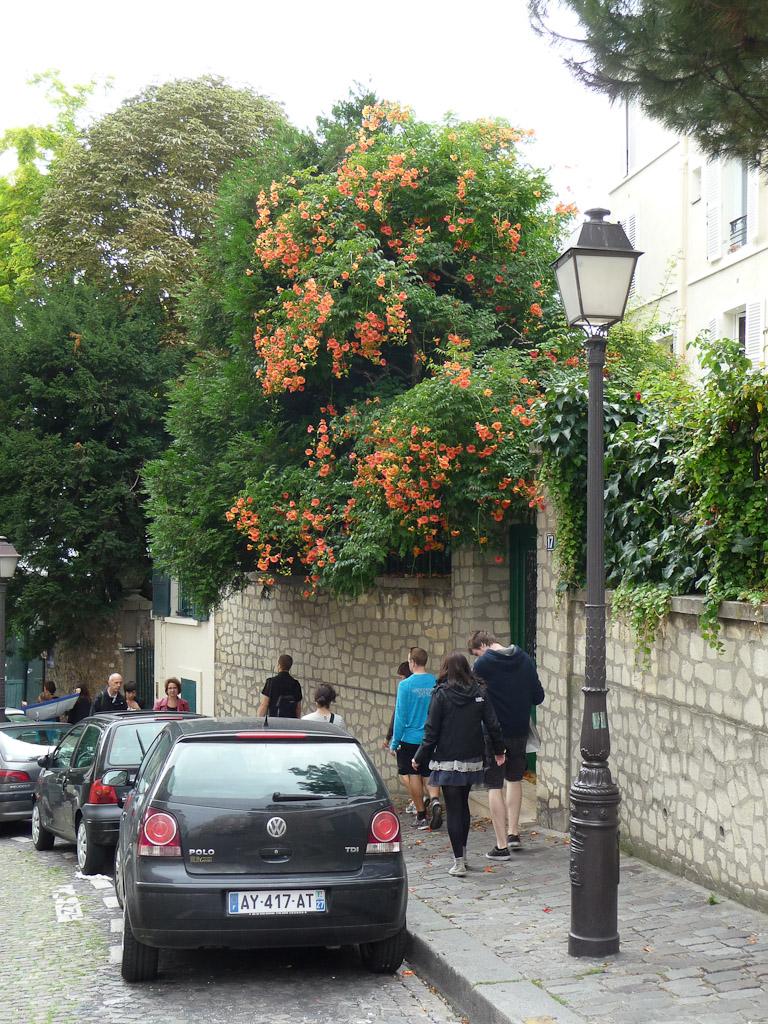 Bignone (Campsis radicans) dans la rue Ravignan à  Montmartre, Paris 18e (75)