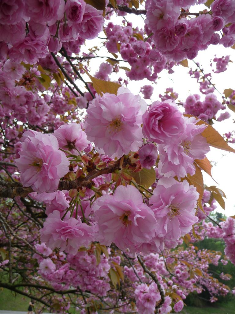 Cerisier à fleurs (Prunus) dans le parc des Buttes-Chaumont, Paris 19e (75)