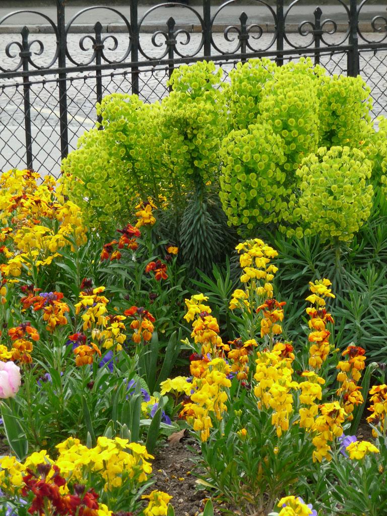 Giroflées ravenelles et euphorbe des garrigues (Euphorbia characias) sur la place Armand Carrel, Paris 19e (75)