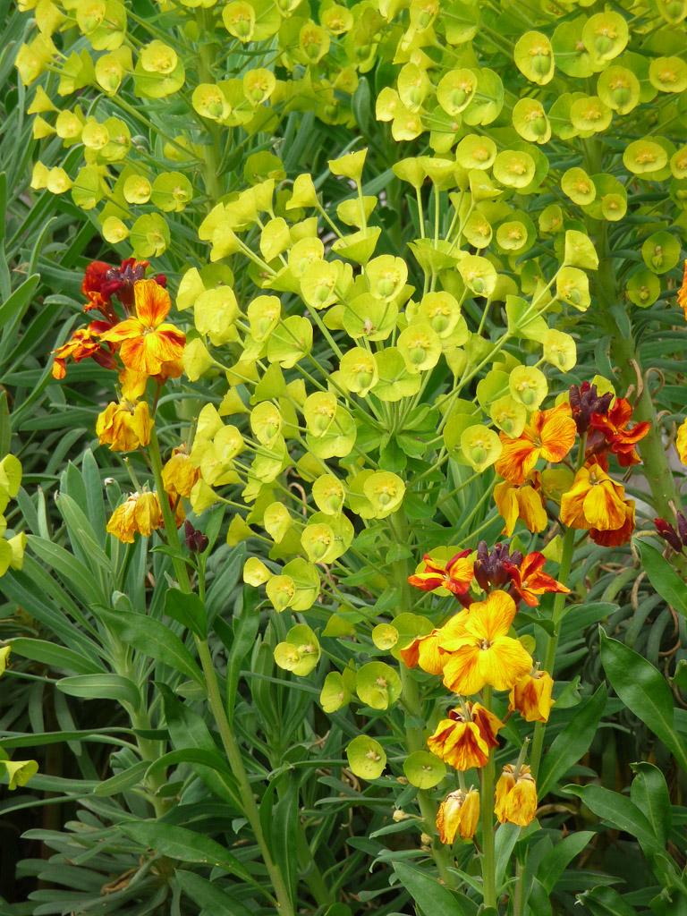 Duo de giroflée ravenelle et euphorbe des garrigues (Euphorbia characias) sur la place Armand Carrel, Paris 19e (75)