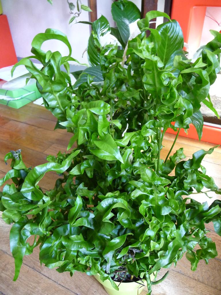 Microsorum scolopendria 'Green Wave', fougère d'intérieur