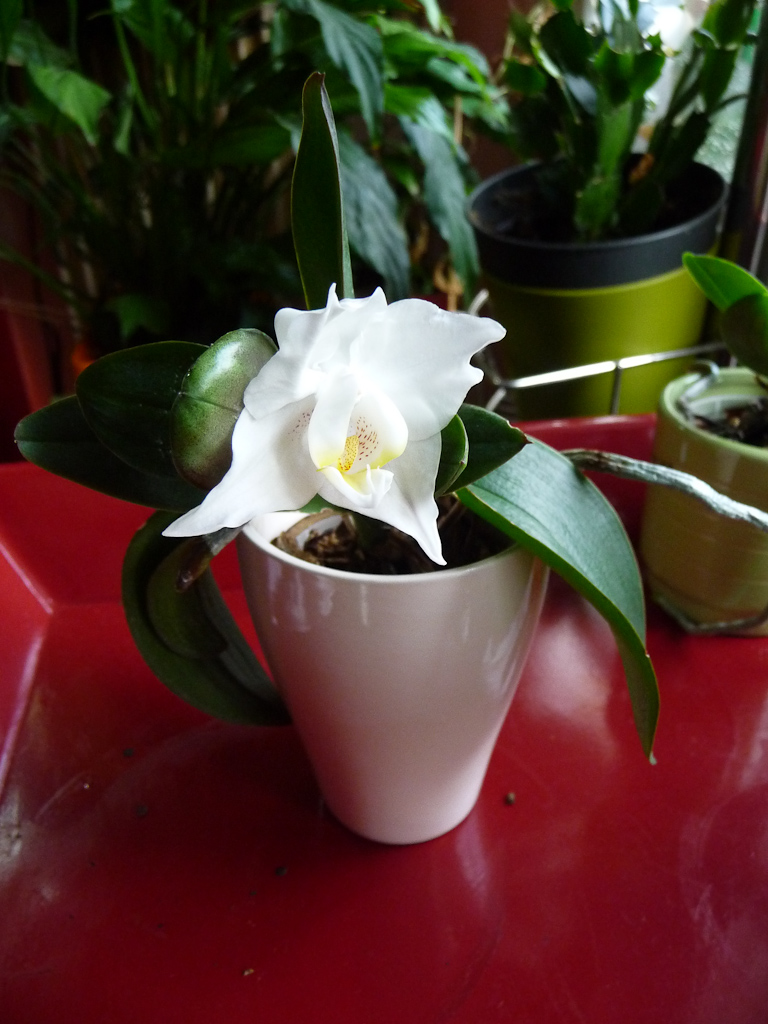 Floraison de mon mini phalaenopsis blanc avec un keiki, Orchidacées, septembre 2011, photo Alain Delavie