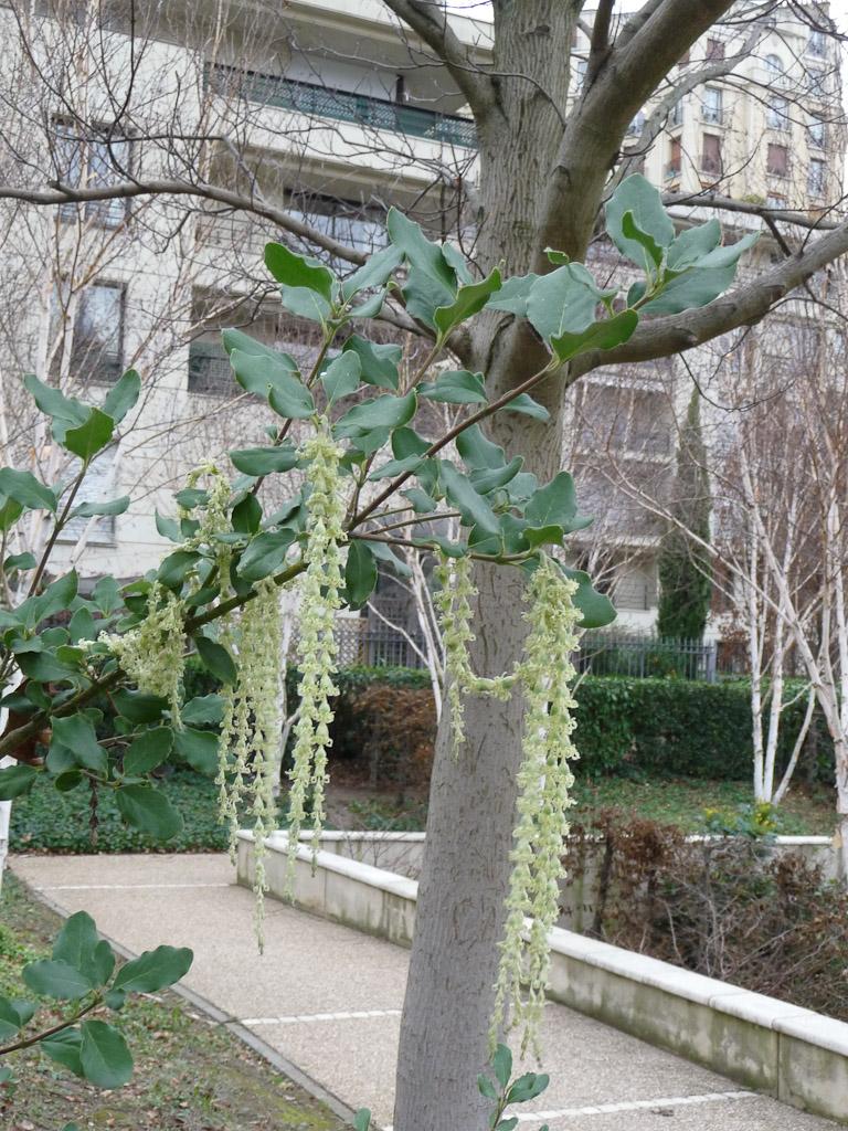 Chatons de Garrya elliptica, parc de Passy en hiver, Paris 16e (75)