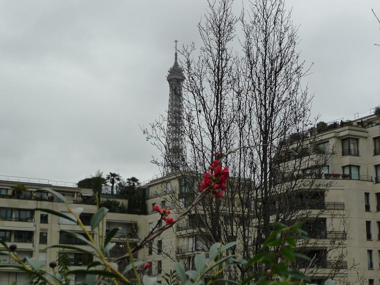 Rameau fleuri de cognassier du Japon dans le parc de Passy en hiver, Paris 16e (75)