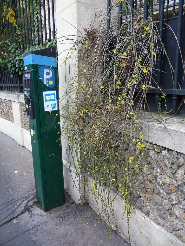 Jasmin d'hiver (Jasminum nudiflorum), place François 1er, Paris 8e (75)