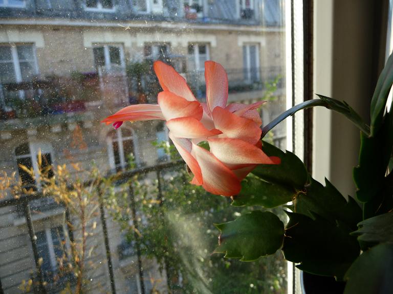 Floraison en fin d'hiver d'un cactus de Noël, plante grasse d'intérieur