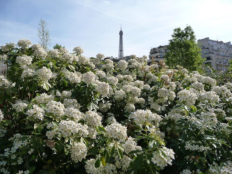 Oranger du Mexique dans le parc de Passy, Paris 16e (75), avec la tour Eiffel à l'arrière plan