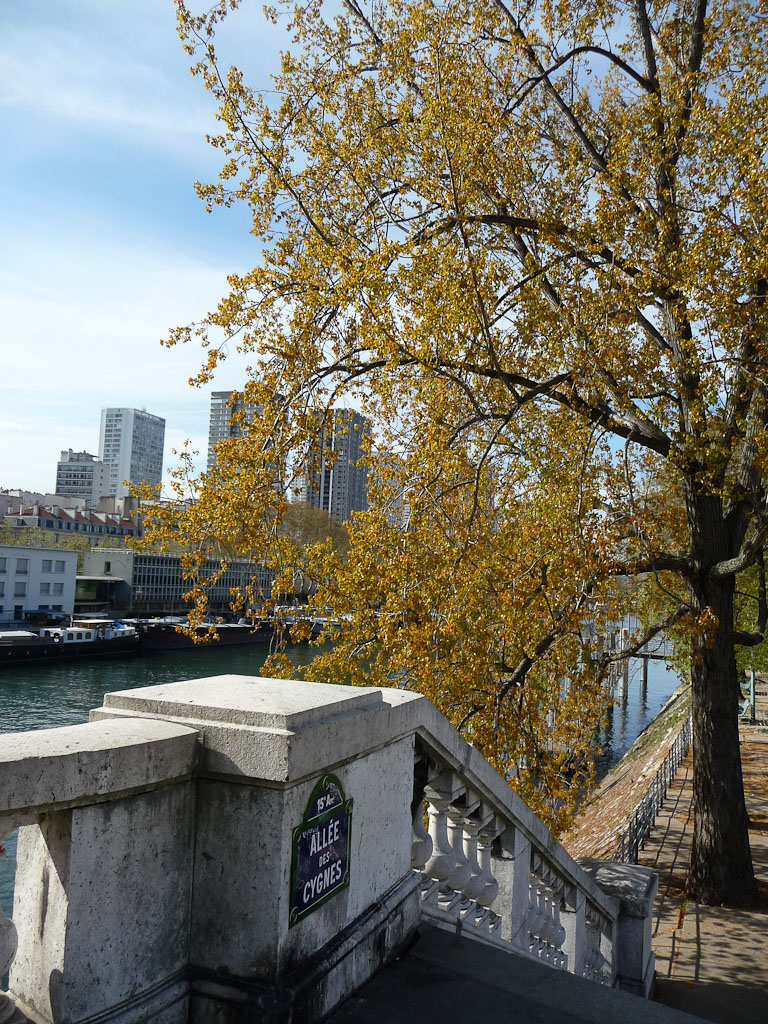 Peuplier euraméricain (Populus x euramericana), Île aux Cygnes, Paris (75)