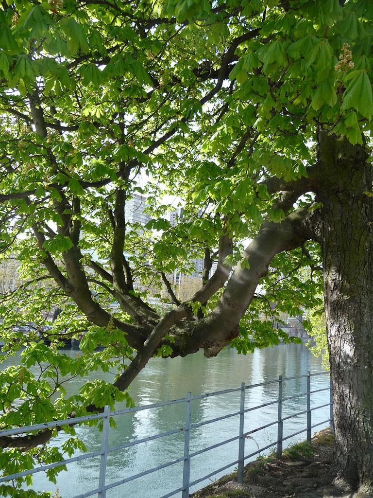 Branche arabesque de marronnier, Ile aux Cygnes, Paris (75)