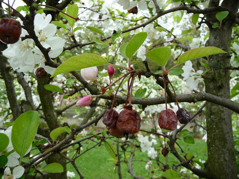 Fruits momifiés sur un pommier fleuri au printemps, Parc André Citroën, Paris 15e (75)