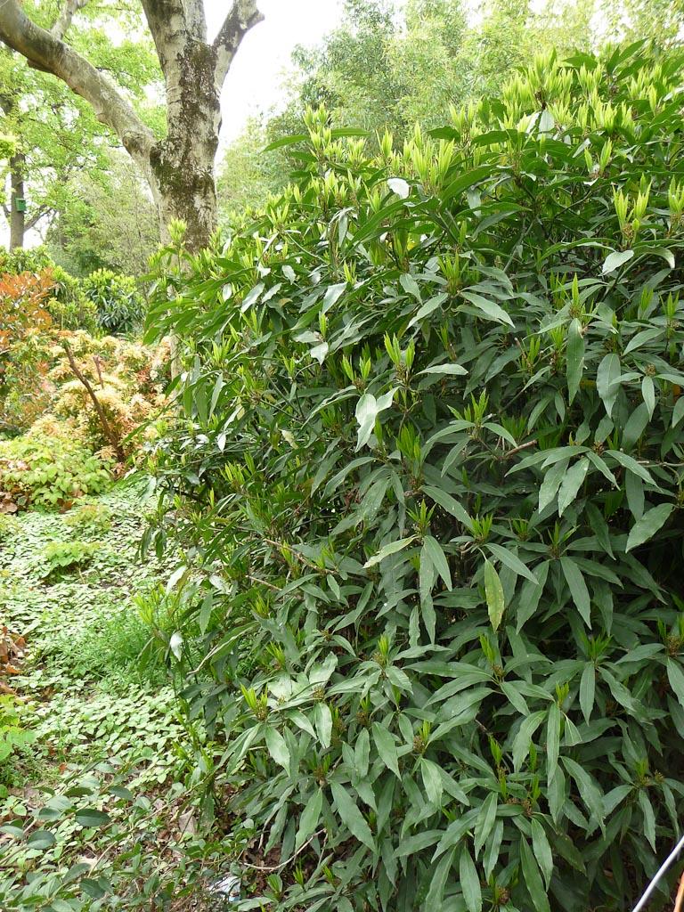 Aucuba japonica 'Salicifolia', parc André Citroën, Paris 15e (75)