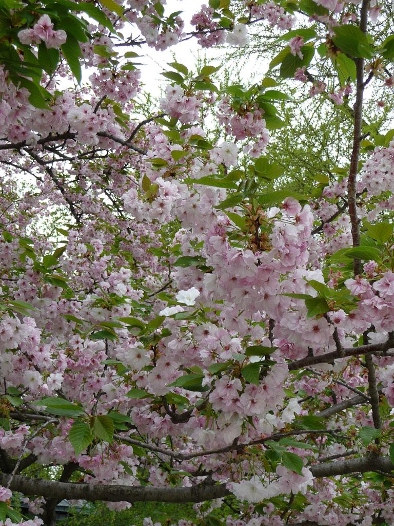 Cerisier à fleurs dans les Jardins des Champs-Élysées, Paris 8e (75)