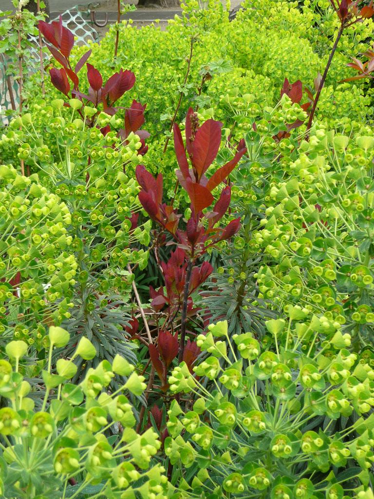 Euphorbia characias et Cotinus, rond-point des Champs-Élysées, Paris 8e (75)