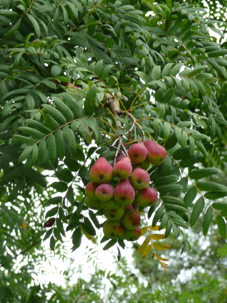 Cormes sur un cormier (Sorbus domestica) dans l'Arboretum de Chèvreloup (MNHN) à Rocquencourt (Yvelines)