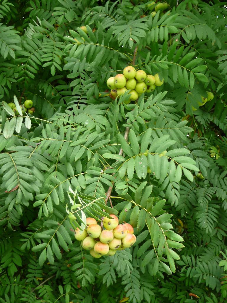Cormier (Sorbus domestica) dans l'Arboretum de Chèvreloup (MNHN) à Rocquencourt (Yvelines)