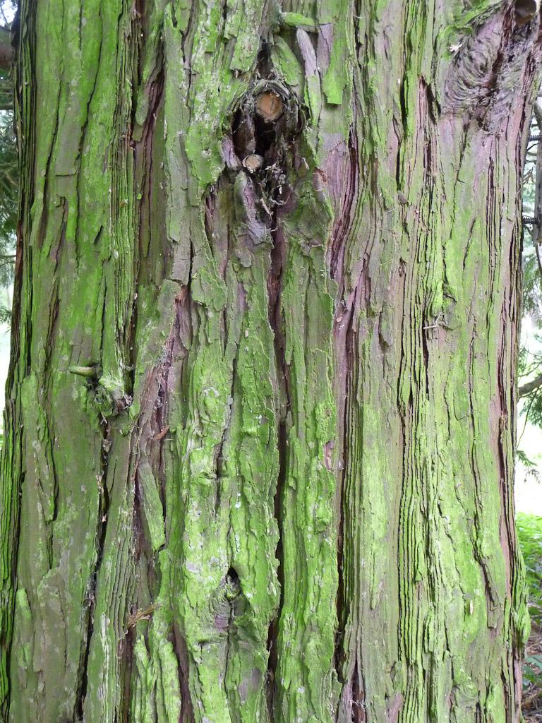 Écorce d'un cèdre à encens (Calocedrus decurrens), Arboretum de Chèvreloup (MNHN) à Rocquencourt (Yvelines)