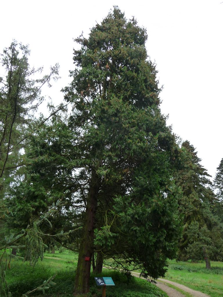 Cèdre à encens (Calocedrus decurrens), Arboretum de Chèvreloup (MNHN) à Rocquencourt (Yvelines)