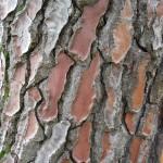 Pin maritime (Pinus pinaster), Arboretum de Chèvreloup (MNHN) à Rocquencourt (Yvelines), 9 septembre 2011, photo Alain Delavie