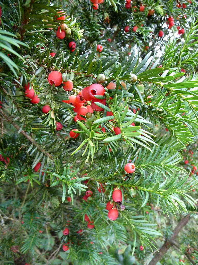 Fruits rouge d'if (Taxus baccata), Arboretum de Chèvreloup (MNHN) à Rocquencourt (Yvelines)