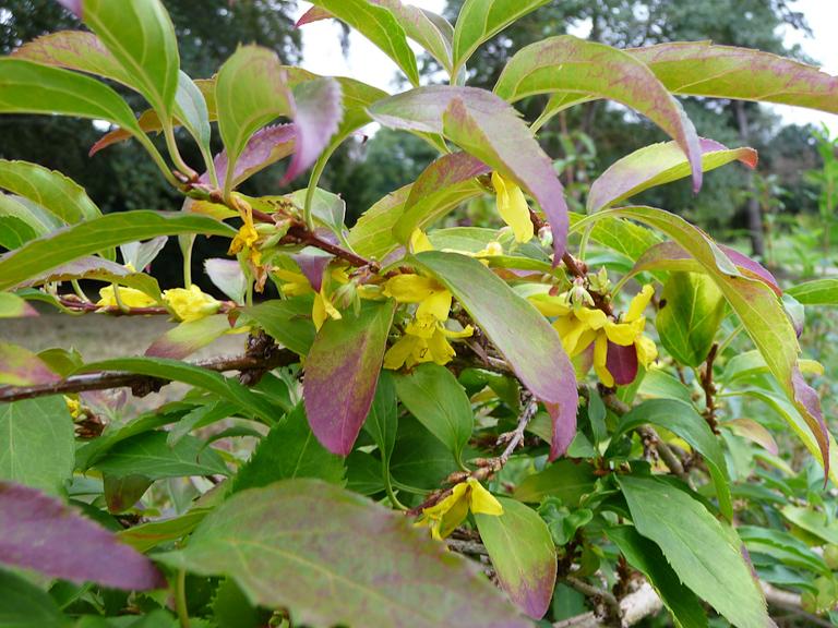 Floraison remontante d'un forsythia dans l'Arboretum de Chèvreloup (MNHN) à  Rocquencourt (Yvelines)