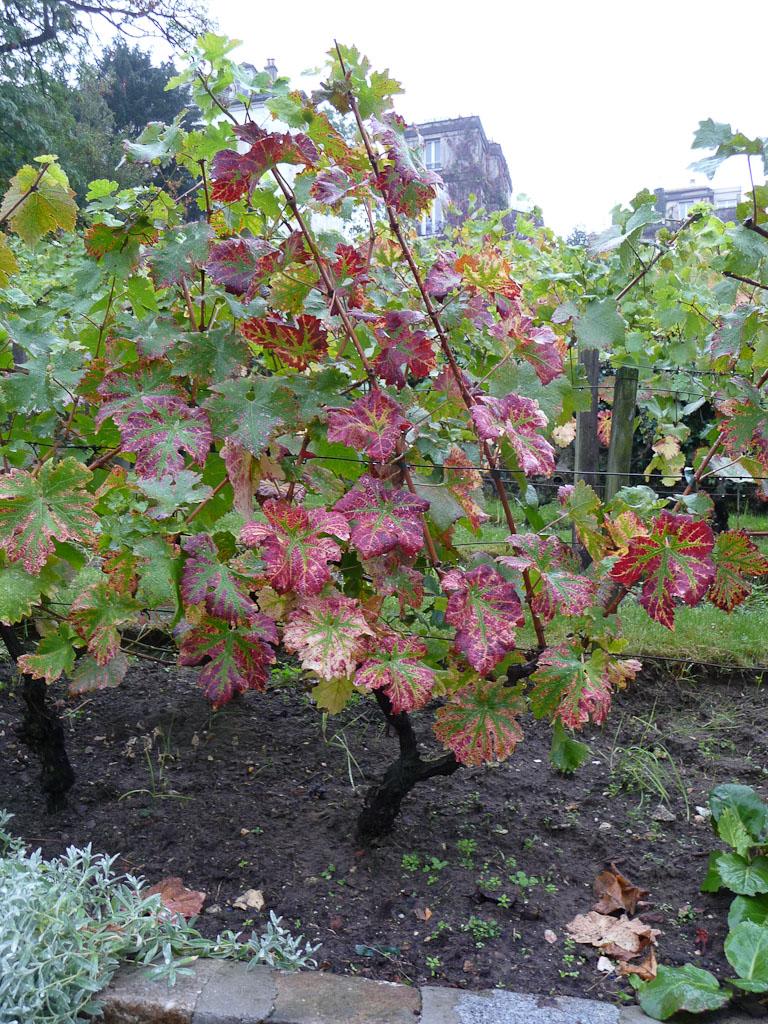 Feuilles de vigne (Clos Montmartre) en automne sur la Butte Montmartre, Paris 18e (75)