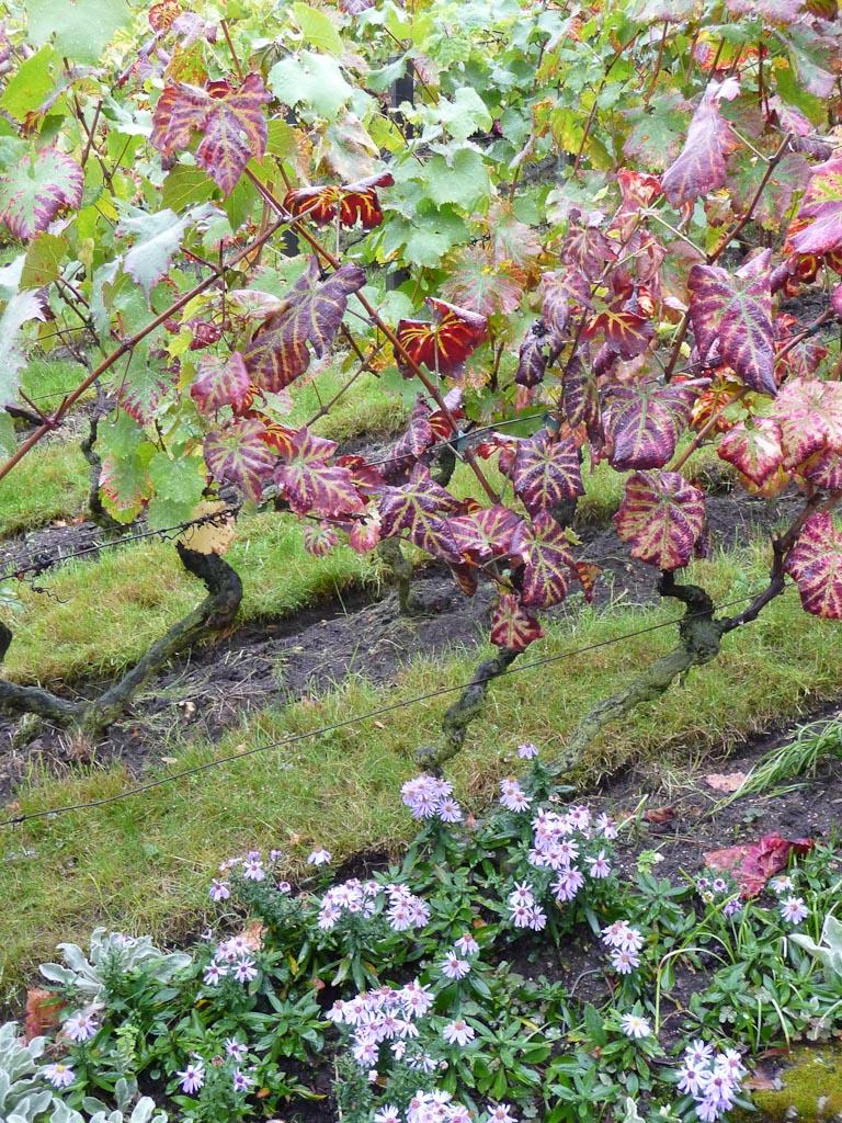 Asters et ceps de vigne (Clos Montmartre) en automne sur la Butte Montmartre, Paris 18e (75)