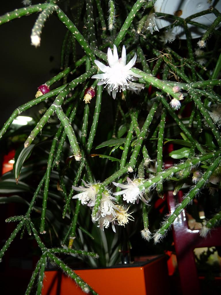 Floraison de ma potée d'Erythrorhipsalis pilocarpa, Cactacées
