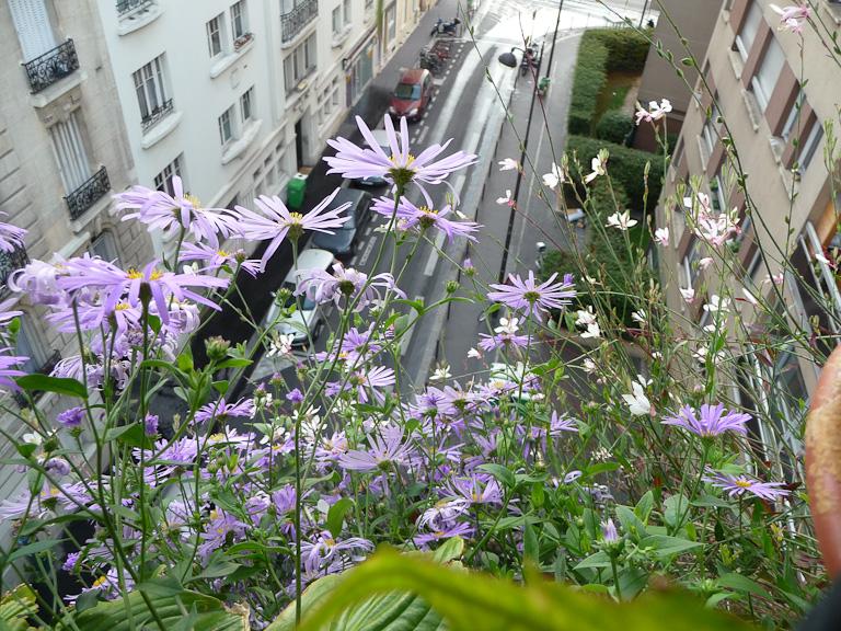 Aster d'été à fleurs bleues, Aster x frikartii 'Wunder von Stäfa' (Astéracées) sur mon balcon en été