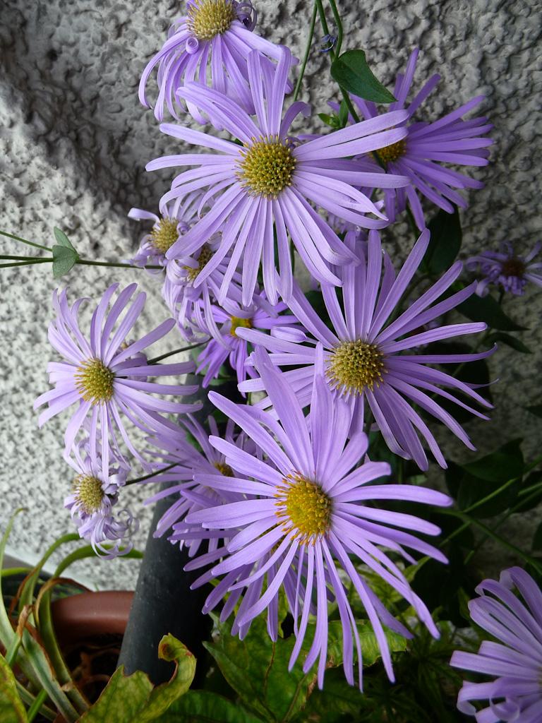 Aster à fleurs bleues, Aster x frikartii 'Wunder von Stäfa' (Astéracées) sur mon balcon en été