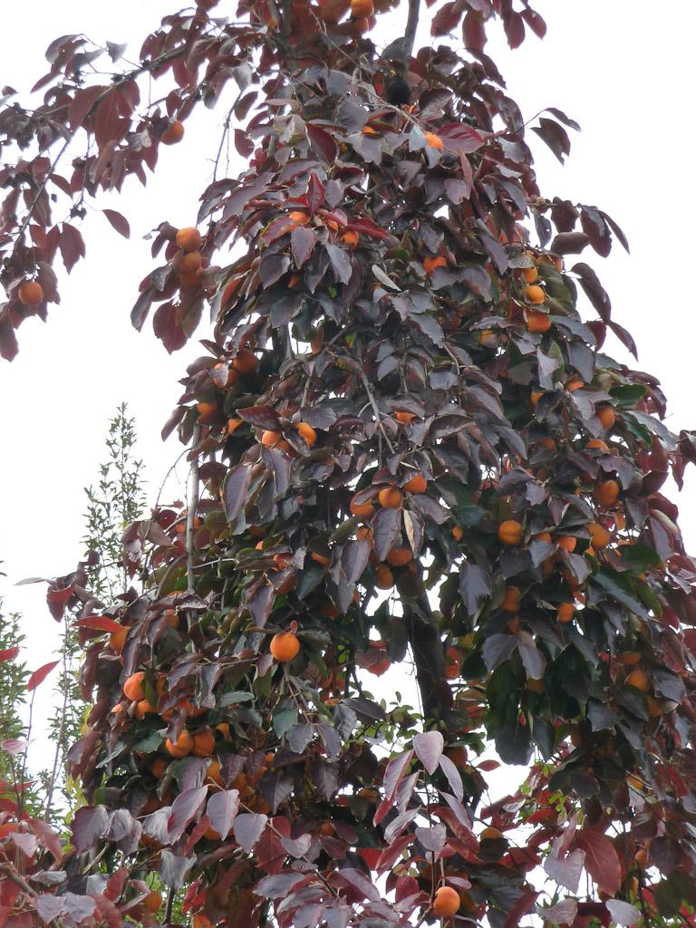 Fruits et feuillage d'automne d'un plaqueminier kaki (Diospyros kaki) dans le square Héloïse et Abélard en automne, Paris 13e (75)