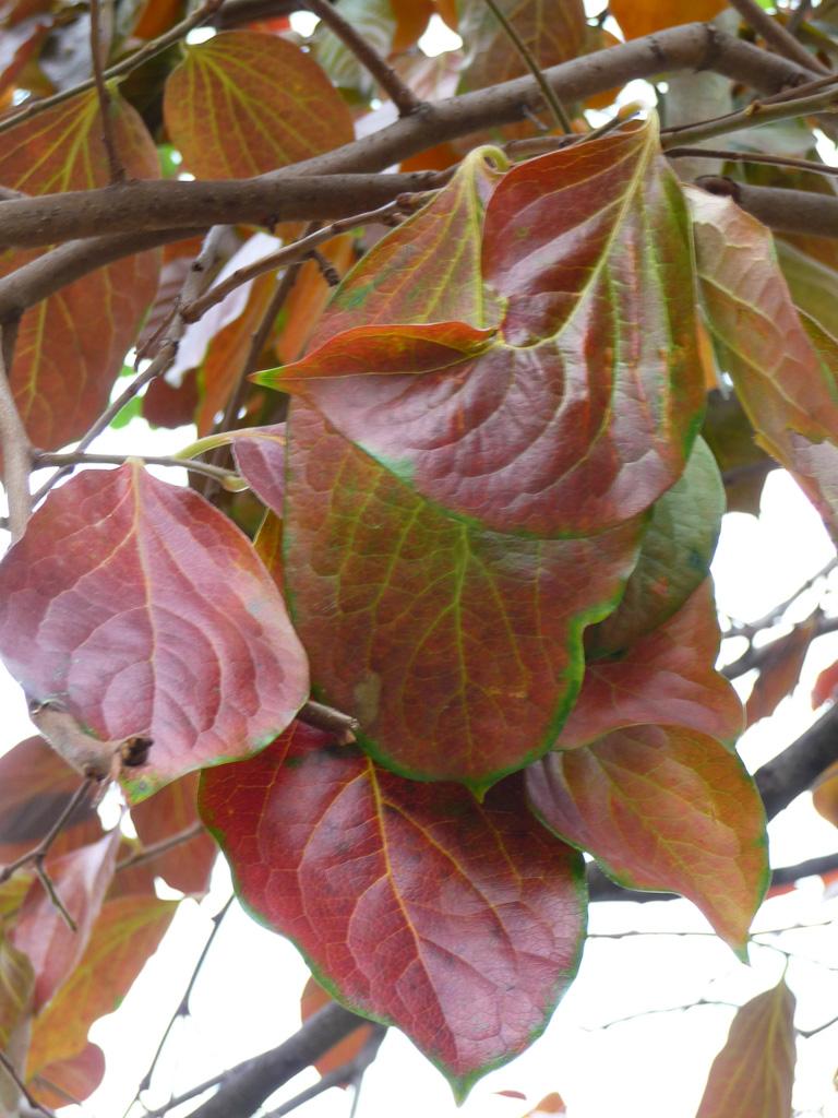 Feuillage d'automne d'un plaqueminier kaki (Diospyros kaki) dans le square Héloïse et Abélard en automne, Paris 13e (75)