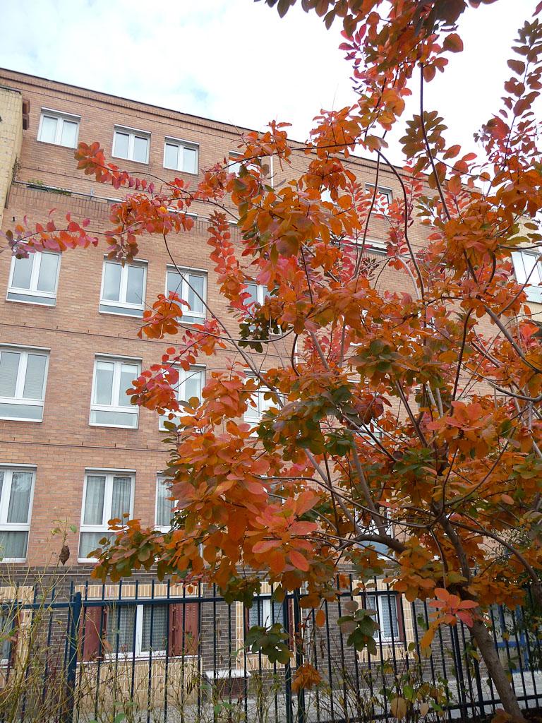 Feuillage d'automne d'un arbre à perruque (Cotinus), Square Héloïse et Abélard, Paris 13e (75)