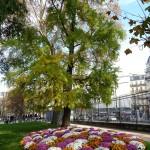 Ginkgo biloba et parterre de chrysanthème dans le Jardin du Luxembourg en automne, Paris 6e (75)